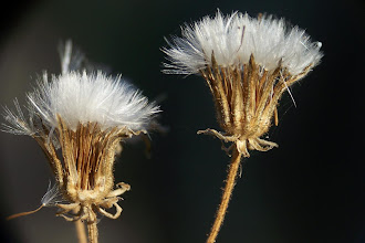 Photo: Crepis vesicaria