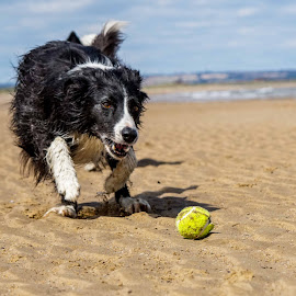 The ball is mine. by Sue Lascelles - Animals - Dogs Playing
