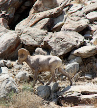Photo: (Year 3) Day 35 - One of the Bighorn Sheep #2