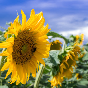 Sunflowers by Andrej Kozelj - Flowers Flowers in the Wild ( clouds, peaceful, sunflowers, green, beautiful, sunflower, beauty, yellow, sun, nature, blue, peace, outdoor, flowers, flower,  )
