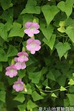 Photo: 拍攝地點: 梅峰-溫帶花卉區 拍攝植物: 蔓玄蔘 拍攝日期: 2015_07_29_FY