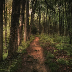 Forest 12 by Kevin Lucas - Landscapes Forests ( dappled, nature, sunset, path, trees, forest, kevin lucas, eye statements, woods,  )