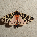 Mediterranean Tiger Moth