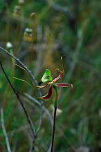 Photo: Caladenia integra