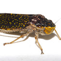 Large Leafhopper