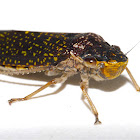 Frog Hopper (Spittle Bug)