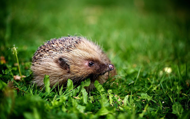 Hedgehog - New Tab in HD