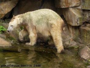Photo: Knut umwandert den Pool ;-)