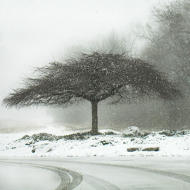 Tree in Snowfall by Jane Spencer - Nature Up Close Trees & Bushes ( snowfall, winter, cold, tree, tire tracks )