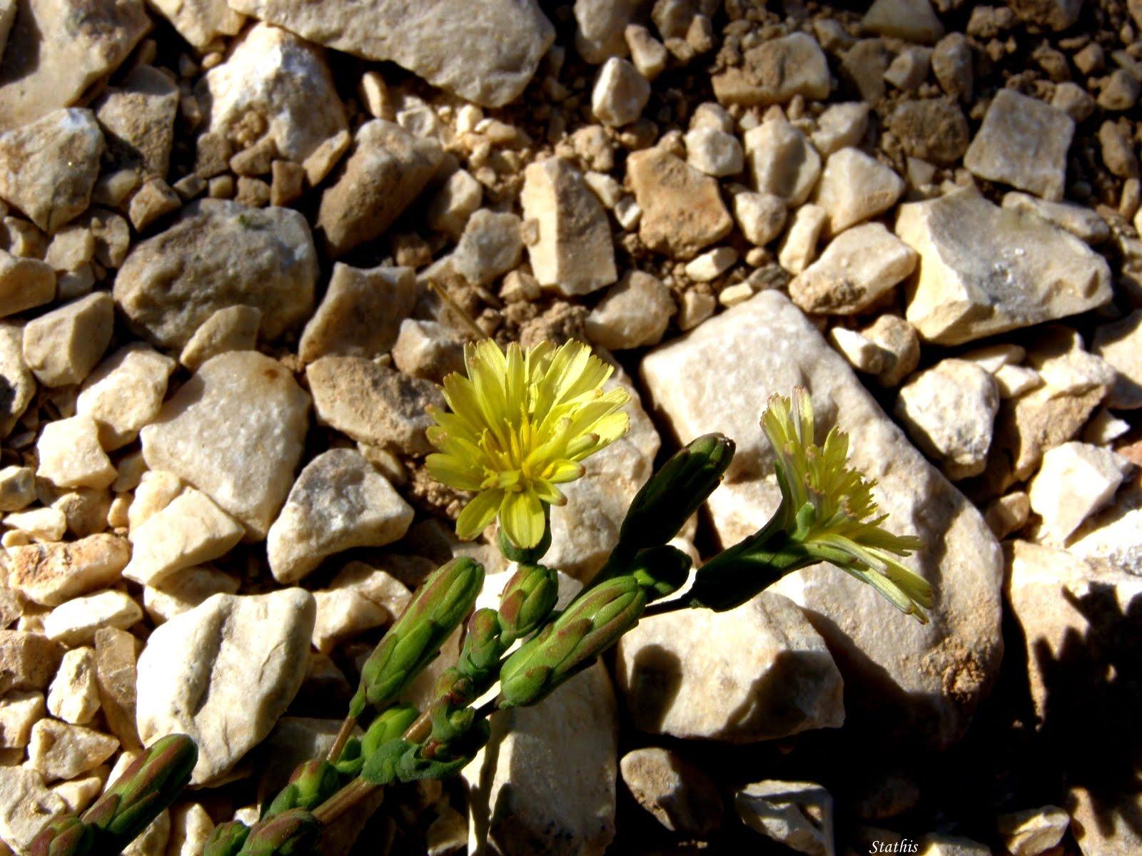 """Photo: Lactuca serriola L. Λακτούκα η πριονόφυλλη Οικογένεια: Asteraceae _ Αστεροειδή Κοινή ονομασία: Πετρομάρουλο, αγριομάρουλο Περιοχή: Δυτικό Ζαγόρι  Περιγραφή: διετές ποώδες φυτό με όρθιο τριχωτό βλαστό, ύψους 30-90 εκατοστά. Φύλλα σαρκώδη, οδοντωτά, πτεροειδή ή λογχοειδή, άμισχα, σκουροπράσινα, γυαλιστερά, με μικρά αγκάθια στις νευρώσεις στην κάτω επιφάνεια και τις άκρες τους. Άνθη κίτρινα, σε ταξιανθία κεφαλωτή. Ανθίζει Ιούλιο-Σεπτέμβριο. Το φυτό όταν κοπεί παράγει γαλακτώδες υγρό. Βιότοπος: ξηρά και άγονα πετρώδη εδάφη, καλλιεργούμενα χωράφια, άκρες δρόμων και σκουπιδότοπους.  Μέρη του Φυτού με δραστικές ουσίες:Υπέργεια τμήματα φυτού. Δραστικές Ουσίες:Ο γαλακτώδης χυμός του φυτού περιέχει σεσκιτερπενικές λακτόνες (λακτουπικρίνη, λακτουκερίνη, β-λακτουκερόλη), φλαβονοειδή (7-μονογλυκοσίδια της λουτεολίνης και της απιγενίνης), κιχορίνη (κουμαρίνη), μαννιτόλη, β-αμυρίνη, ισοπουλεόλη, αλκαλοειδή, τριτερπένια, σίδηρο, βιταμίνες Α, Β1, Β2 και C. Συχνά αναφέρεται ως """"όπιο του μαρουλιού"""", καθώς έμφανίζει τις ιδιότητες του οπίου σε μικρότερο βαθμό. Όταν το φυτό βρίσκεται σε πλήρη άνθιση, η κύρια δραστική του ουσία (λακτουκοπικρίνη) βρίσκεται σε μεγαλύτερη συγκέντρωση. Φαρμακολογικές δράσεις-Εφαρμογές: Όλο το φυτό χρησιμοποιείται ως σπασμολυτικό, διουρητικό, υπνωτικό, ναρκωτικό και καταπραϋντικό. Χορηγείται για την αντιμετώπιση της αϋπνίας, του ξηρού βήχα, της ρευματαλγίας, της βλεννόρροιας, των παθήσεων των οφθαλμών και των χρόνιων ελκώνν. Το φυτό έχει ακόμα κατευναστικές, ηρεμιστικές και ελαφρά ναρκωτικές ιδιότητες και είναι αποτελεσματικό στην καταπολέμηση της υπερκινητικότητας των παιδιών. Στην ομοιοπαθητική συνιστάται κατά της χρόνιας καταρροής, του βήχα, των διαταραχών του ήπατος και του ουροποιητικού συστήματος. Τρόπος Χορήγησης: Χορηγείται ως αγχολυτικό και ηρεμιστικό υπό τη μορφή εγχύματος (0,5-4g ξηρού βοτάνου σε ένα φλυτζάνι βραστό νερό, έως 3 φορές την ημέρα). Στην ομοιοπαθητική συνιστάται υπό τη μορφή βάμματος (αναλογία 1:1, 25mg ξηρού βοτάνου σε αιθανόλη """