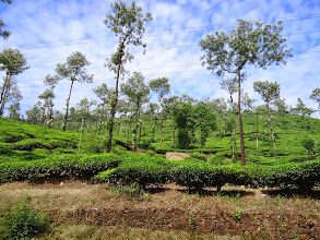 Photo: Tea plantation