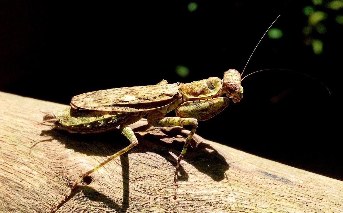 Indian bark mantis