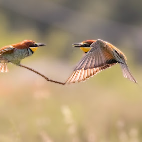 Bee-eaters by Albergamo Paolo - Animals Birds ( paolo albergamo, nature, bee-eaters, birds, animal )