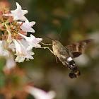 Titan hummingbird moth (female)