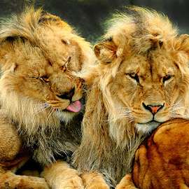 Le repos des guerriers by Gérard CHATENET - Animals Lions, Tigers & Big Cats (  )