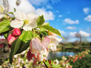 Photo: Apple blossoms under a lovely blue sky at Cox Arboretum in Dayton, Ohio.