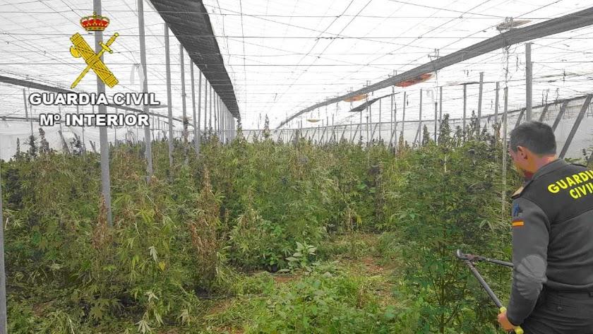 En el invernadero había 1.031 plantas de metro y medio cada una.