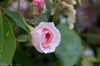 Photo: Pink Rose in The Morning @ Santa Cruz, CA - http://photo.leptians.net