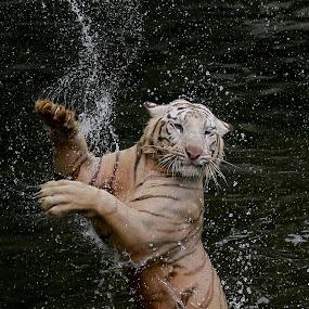 Ballerina with Claws.... by Baron Danardono Wibowo - Animals Lions, Tigers & Big Cats