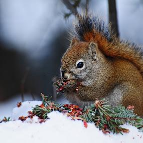 by Jeff Weaver - Animals Other Mammals ( animals, winter, nature, alaska, squirrel,  )