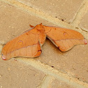 Helena Gum Moth - female