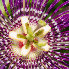 The intricate one by Prajwal Ullal - Flowers Flowers in the Wild ( canon 100mm macro, passiflora, flowers in wild, passionafruti flower, canon 550d,  )
