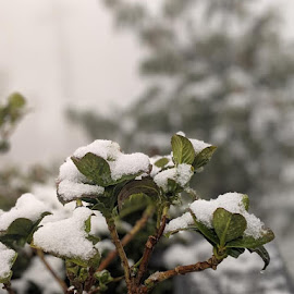 Fresh snow on leaves by Rajat Julka - Nature Up Close Leaves & Grasses ( leaves, snowfall, snow, nature up close, winter )