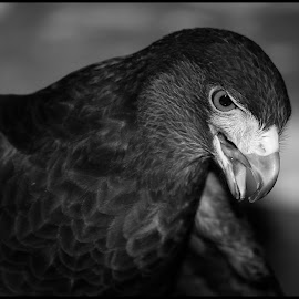 Harris Hawk by Dave Lipchen - Black & White Animals ( harris hawk )