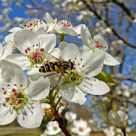 Bee on Pear Blossoms by Bill Diller - Flowers Tree Blossoms ( pear blossoms, pear, bee, michigan, nature, bug, blossoms, tree, insect, flower, wildlife )