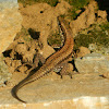 Wall lizard (Τοιχόσαυρα)