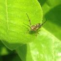 Curved-horn Moths