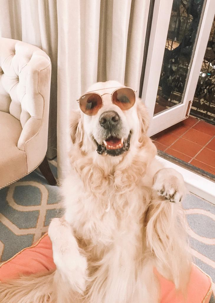 Happy golden Retriever with sunglasses