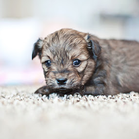 by Aim Huston - Animals - Dogs Puppies