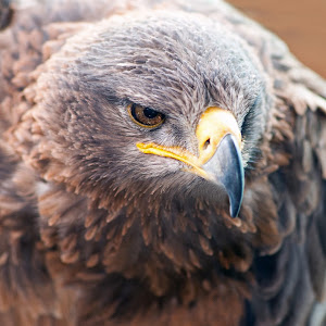 Tawny Eagle (2).jpg