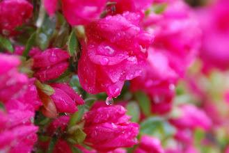 Photo: 23 ... A rainy Sunday morning on my front yard Azalea's