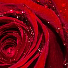 La rose by Leonor Machado - Flowers Single Flower ( rose, red, red flower, drops, flower )