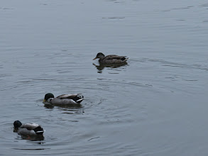 Photo: Priorslee Flash At first glance two drake and a duck Mallard, but ... (Ed Wilson)