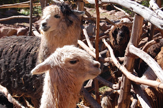 Photo: baby alpacas - the source of the best wool