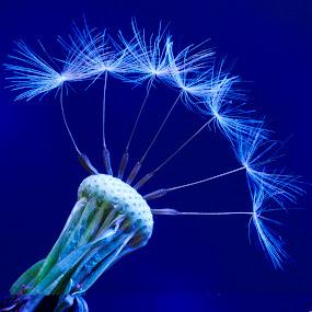 minimal blue by Giovanni De Bellis - Nature Up Close Flowers - 2011-2013 ( dandelion, nature, cold, blue, minimal, flower )