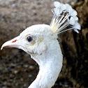 Peacock Albino