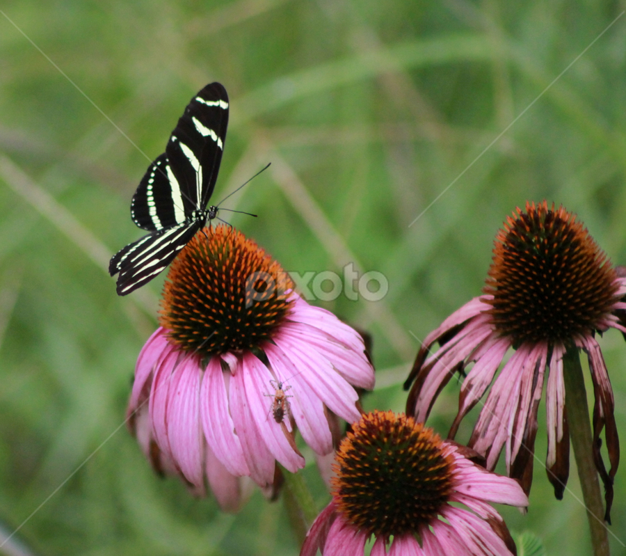 Zebra Longwing Butterfly by Rob Frederick - Novices Only Wildlife ( pwcinsectsandspiders, butterfly, flower, zebra long tail, purple cone flower, purple flower )