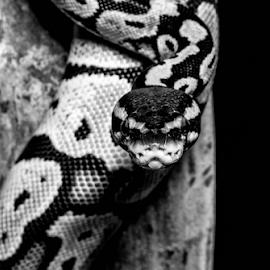 Snake by Garry Chisholm - Black & White Animals ( macro, python, nature, snake, reptile, garry chisholm )