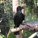 Eastern jungle crow