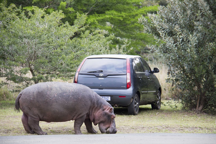 A hippo this week decided to grab a quick grassy snack in a carpark in St Lucia.