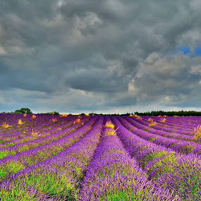 Lavender by Kevin Morris - Landscapes Prairies, Meadows & Fields ( landscape, lavender )