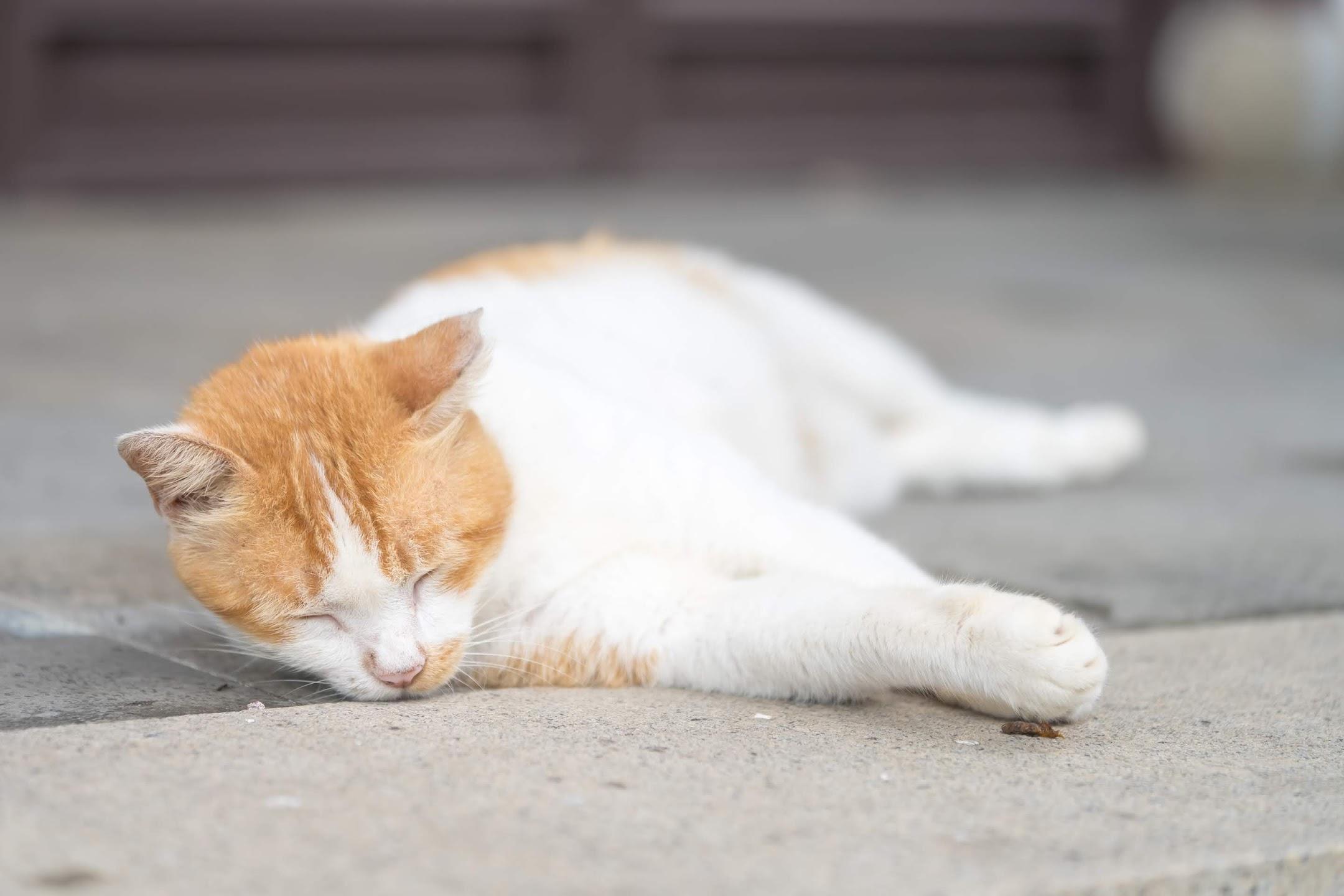 シンガポール 猫4