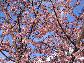 Photo: 河津桜?啓翁桜? 2/18 新城にて。 すでに満開でした。