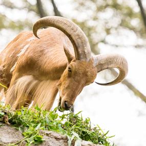 Mountain Goat by Putu Anggara - Animals Other Mammals ( mountain, grass, goat, horn, eat )