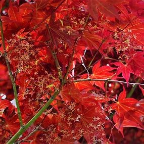 Red Japanese Maple Leaves in Flower by Sheri Fresonke Harper - Nature Up Close Leaves & Grasses ( red, leave, japanese, spring, maple,  )