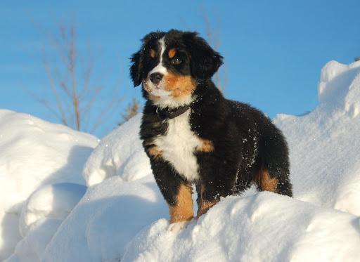 Bernese Mountain Dog Pack 2
